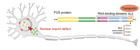 Fig.2 _FUS nuclear transport defects_final